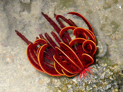 Red Feather Star