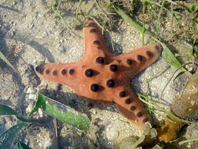 Knobbly Sea Star (Protorester nodosus)