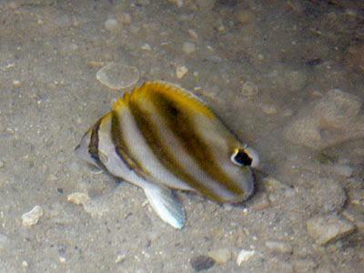 Kite Butterflyfish (Parachaetodon ocellatus)