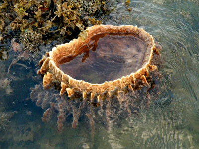 Barrel Sponge (Xestospongia testudinaria)