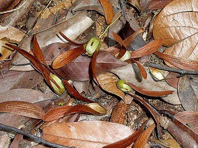 Seraya (Shorea curtisii)