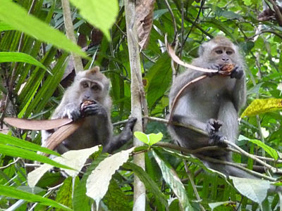 Long-tailed Macaques (Macaca fascicularis) feeding on Dipterocarp fruit