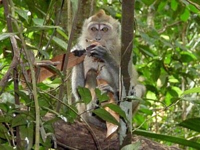 Long-tailed Macaque (Macaca fascicularis) feeding on Dipterocarp fruit