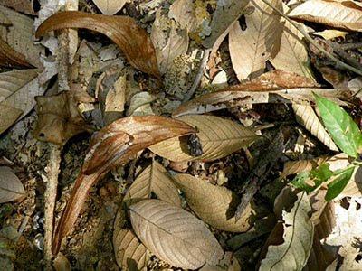 Cheng Tng Tree (Scaphium macropodum).