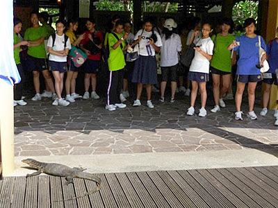 Malayan Water Monitor (Varanus salvator)