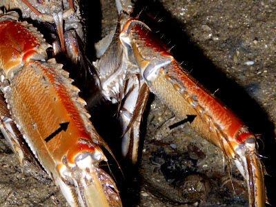 Mud Lobster