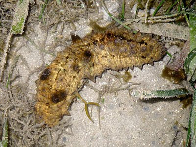 Dragonfish Sea Cucumber (Stichopus horrens)