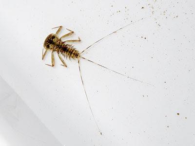 Flat-headed Mayfly (Family Heptageniidae) larva