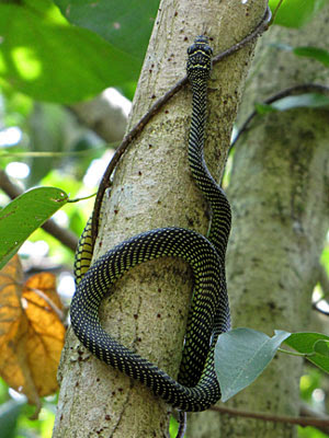 Paradise Tree Snake (Chrysopelea paradisi)
