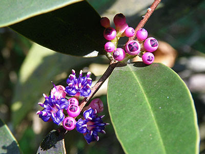 Nipis Kulit (Memecylon caeruleum)