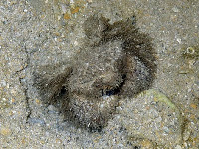 Hairy Crab (Pilumnus vespertilio)