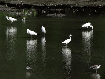 Little Egrets (Egretta garzetta)