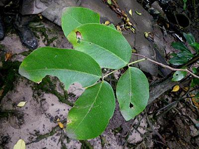 Merbau Ipil Tree (Intsia bijuga)