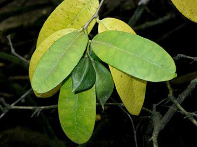 Mangrove Lime (Merope angulata)