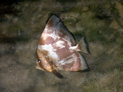 Batfish (Family Ephippidae)