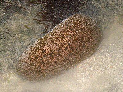 Stonefish Sea Cucumber (Actinopyga lecanora)