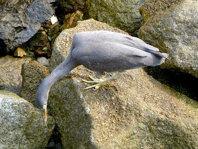 Pacific Reef Egret (Egretta sacra)