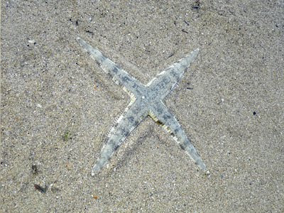 Sand-sifting or Common Sea Star (Archaster typicus)