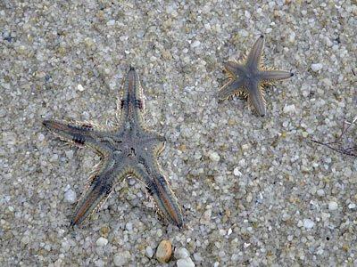 Sand Stars (Astropecten spp.)