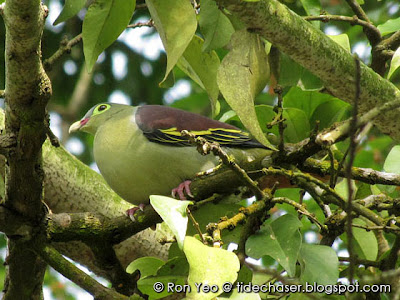 Thick-billed Green-pigeon (Treron curvirostra)