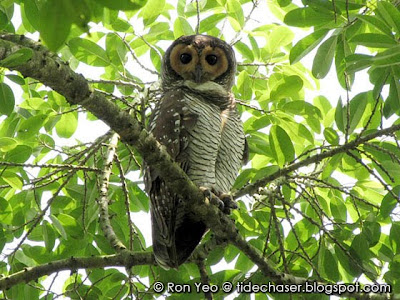Spotted Wood-owl (Strix seloputo)