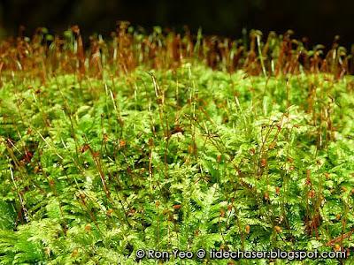 Mosses (Division Bryophyta)