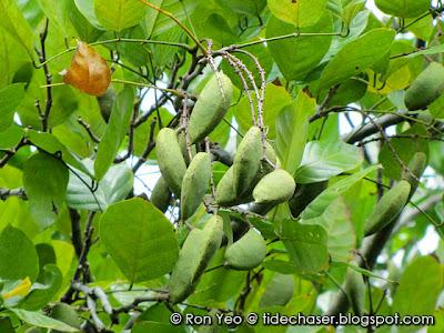 Mempari (Pongamia pinnata)