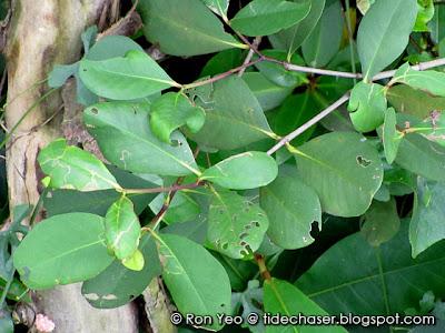 Mangrove Apple (Sonneratia alba)