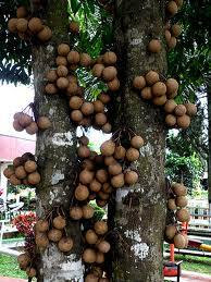 Jenis Buah-buahan Asli Indonesia (yang hampir punah)