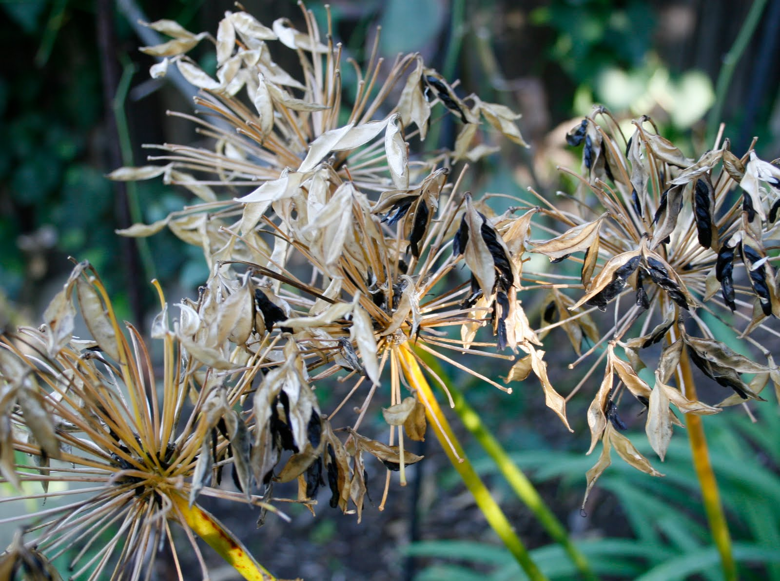 agapanthus how to grow from seed