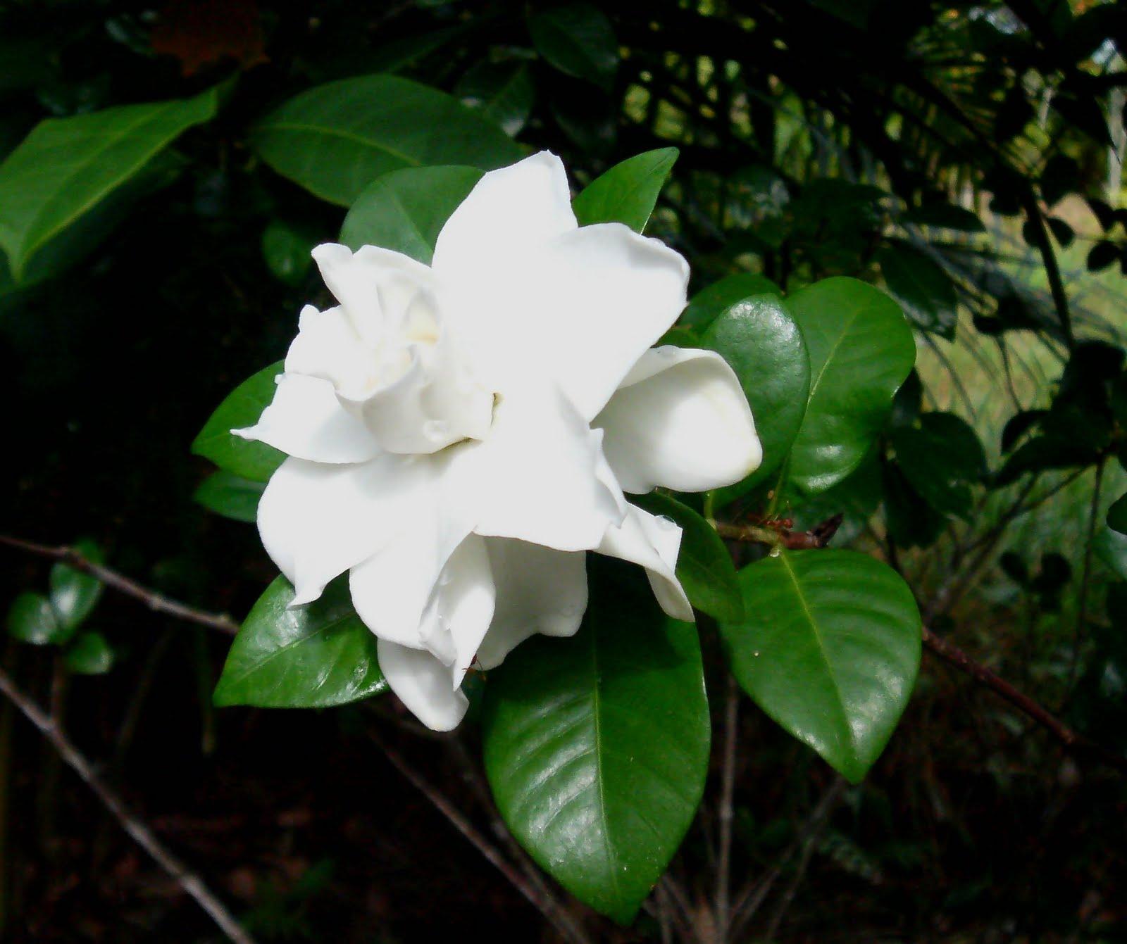 laman kambatik plants list 3rd ed gardenia augusta