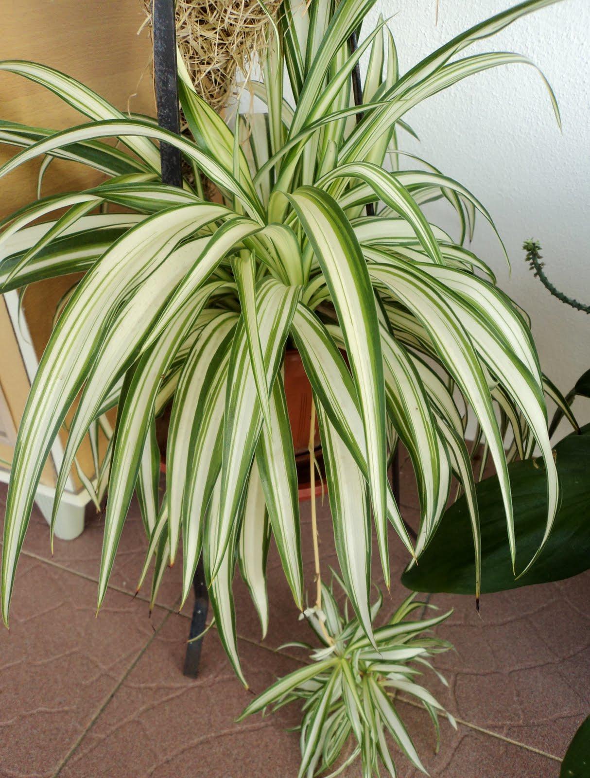 Laman Kambatik Plants list (3rd ed.): Chlorophytum ...