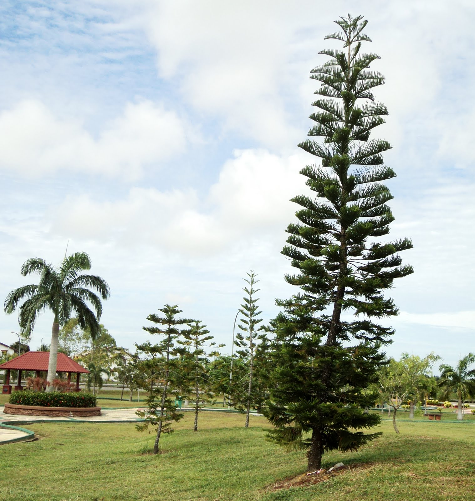 how to clean norfolk island pine