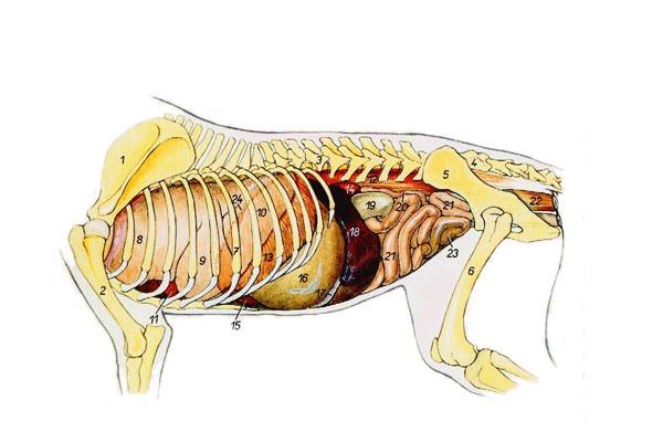 Atlas, el cachorrito Labrador: Anatomía de un perrito