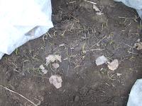 ruohosipulit harson alla suojassa