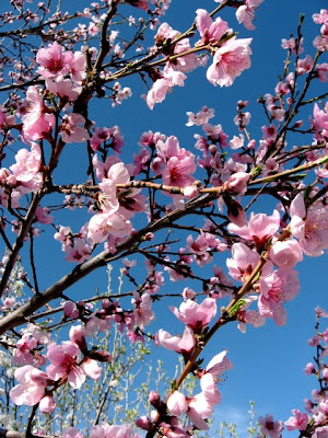 Santa Fe Peach Blossoms