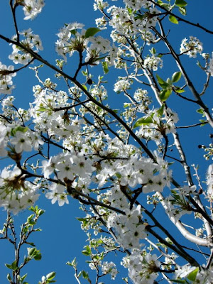 Santa Fe Apple Blossoms