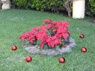 Puerto Vallarta Christmas poinsettias