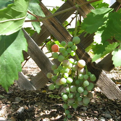 Grapes, Santa Fe, New Mexico