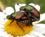 how to kill japanese beetles naturally