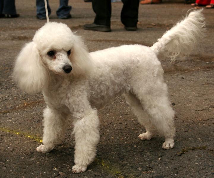 Adopt caine Bichon Havanez sau Frise, sau Caniche sau Poodle (Pudel