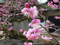 桃色の梅花、匂いは甘い香り