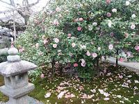 樹齢約120年の二世が花を咲かせている
