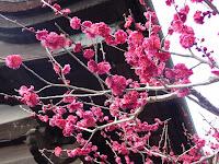 醍醐三宝院の真っ赤な梅