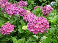 昨日の雨がアジサイの花を一段と綺麗さを増す
