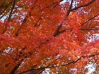 三叉の紅葉