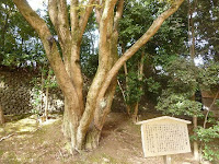 四百年を優に超える大木