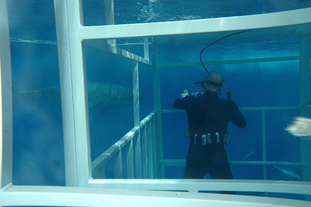 Guadalupe Island White Shark