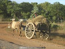 Myanmar Bullock Cart