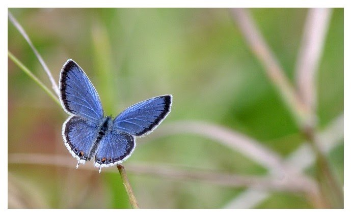 Mr. Blue, an Eastern Tailed-blue (Everes comyntas) butterfly